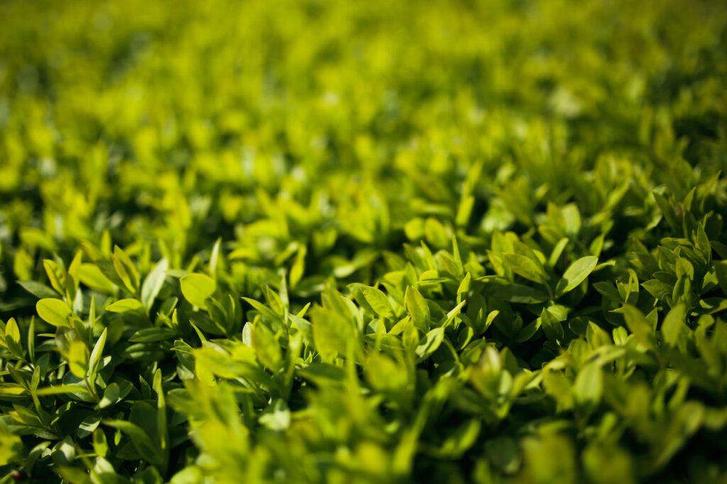 Cipres bestellen bij Haagplanten Heijnen